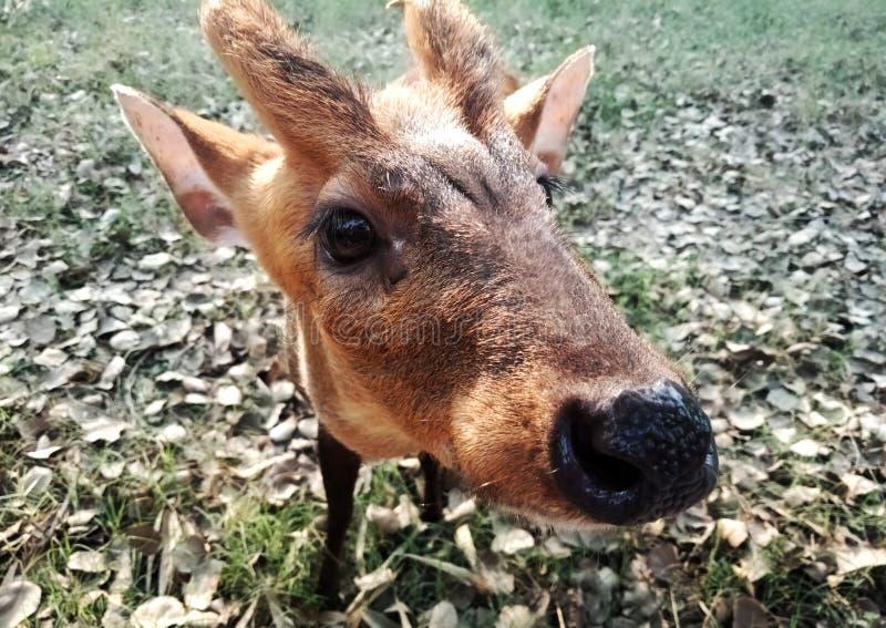 Feche acima de um cervo do bebê