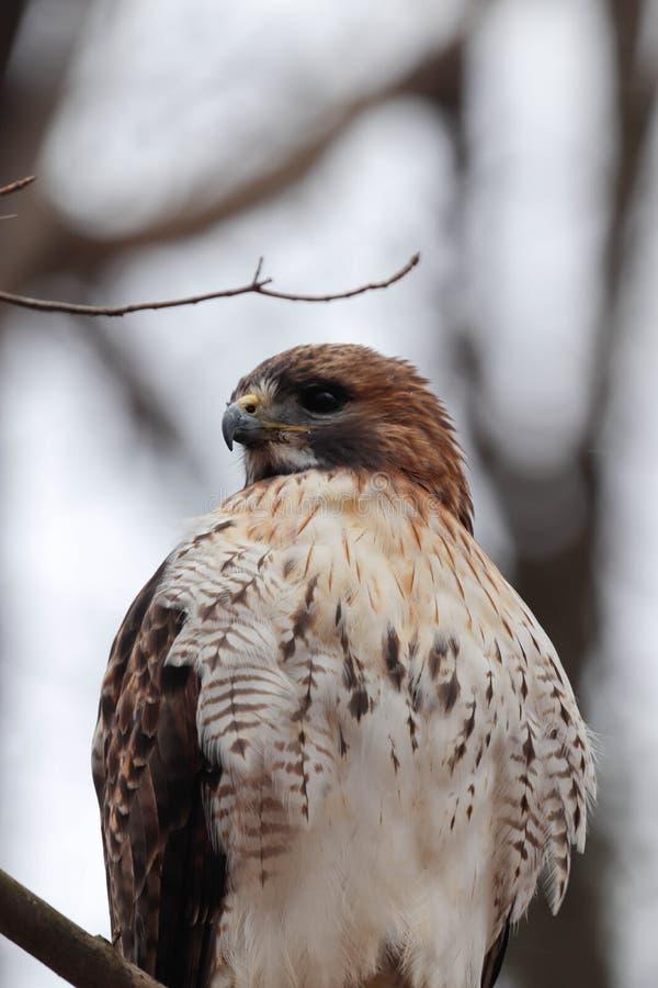 Feche acima de um falcão vermelho adulto da cauda empoleirado em uma árvore imagem de stock royalty free