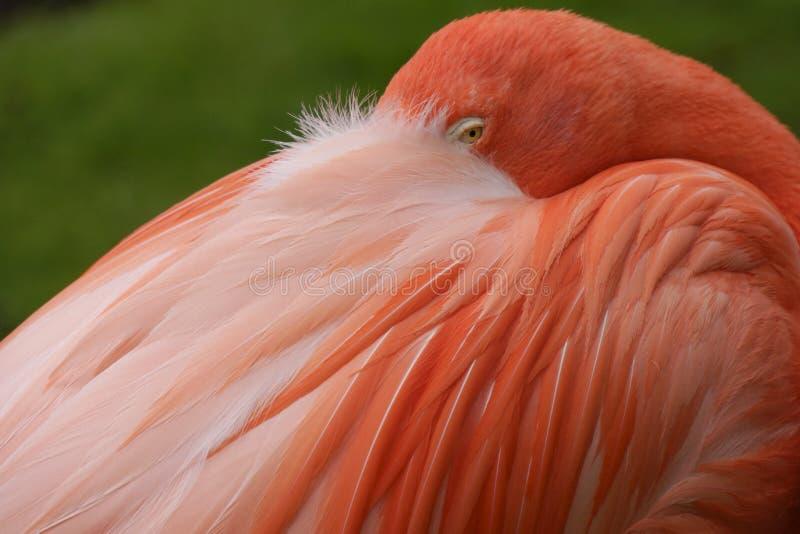 Feche acima de um flamingo cor-de-rosa imagem de stock royalty free