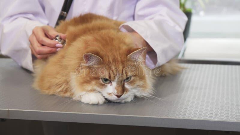 Feche acima de um gato macio do gengibre que está sendo examinado por um veterinário profissional imagens de stock
