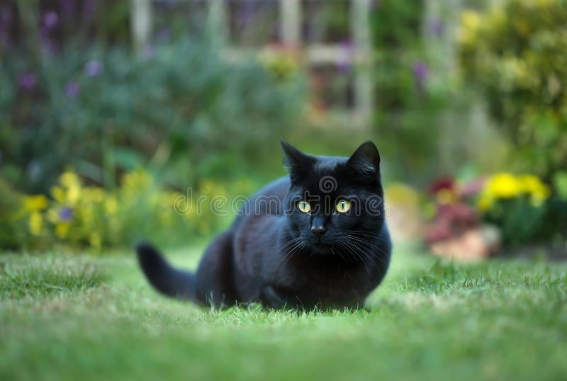 Feche acima de um gato preto na grama no pátio traseiro imagem de stock royalty free