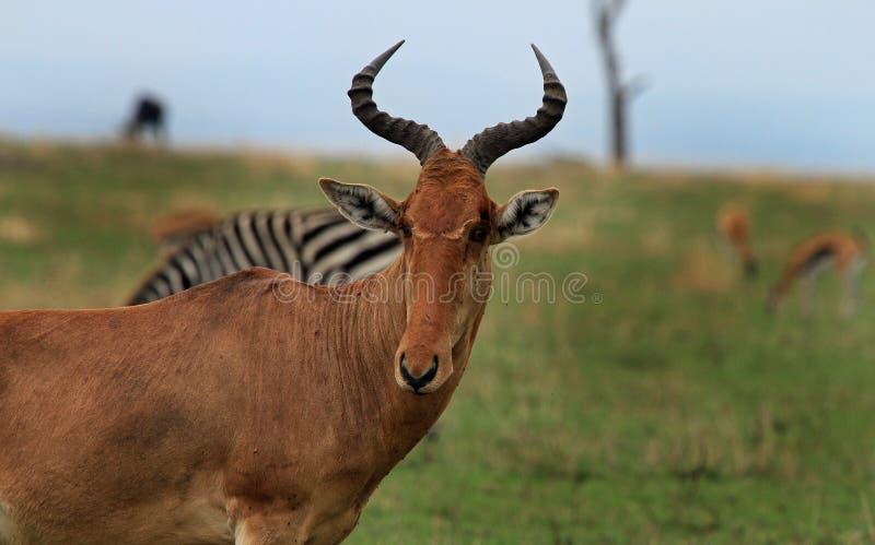 Feche acima de um Hartebeest com outros animais no fundo fotografia de stock