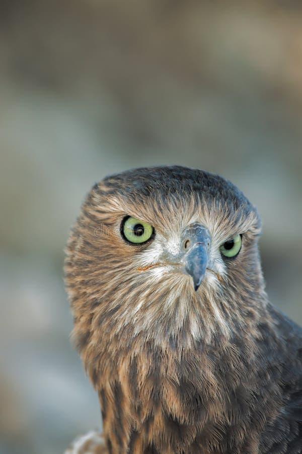 Feche acima de um juvenil Pale Chanting Goshawk, canorus de Melierax imagens de stock