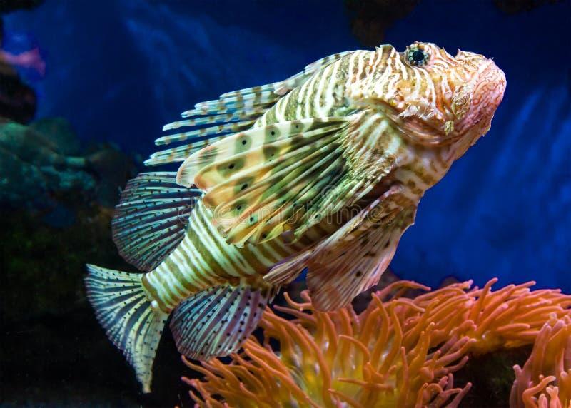 Feche acima de um Lionfish fotografia de stock royalty free