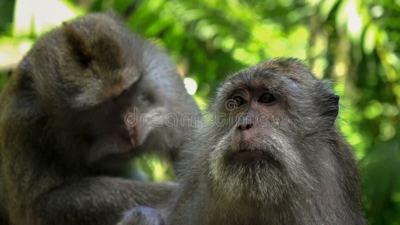 Feche acima de um macaque que está sendo tratado a pediculose na floresta do macaco do ubud, bali fotografia de stock royalty free