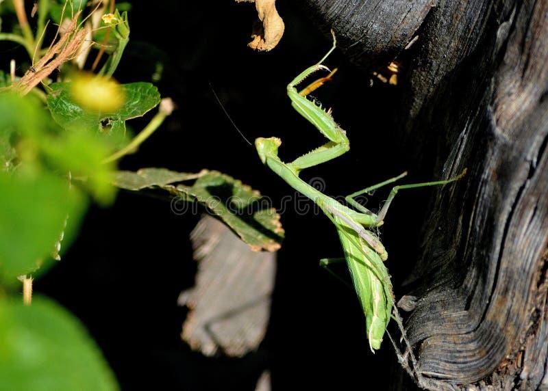 Feche acima de um Mantis Praying fotos de stock royalty free