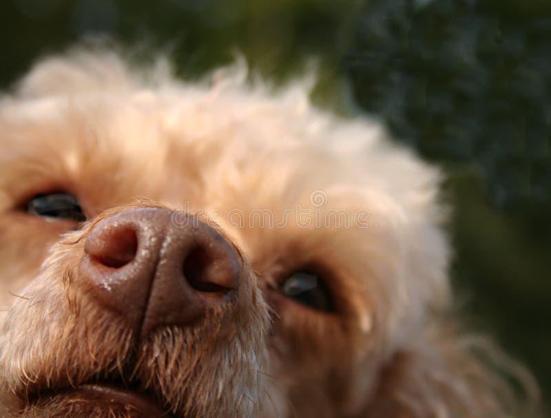 Feche acima de um nariz de cães imagem de stock