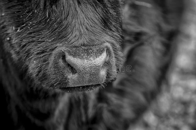 Feche acima de um nariz do ` s da vaca fotografia de stock