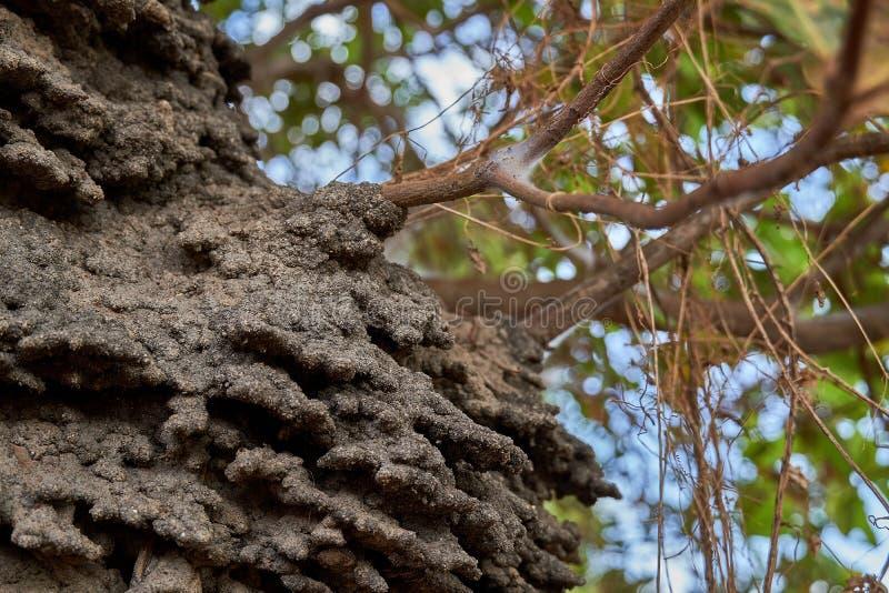 Feche acima de um ninho arborícola da térmita em uma árvore de caju no savana de Rupununi de Guiana imagem de stock
