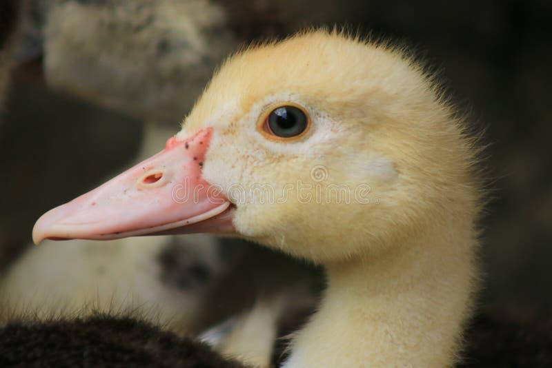 Feche acima de um pato branco bonito com um bico cor-de-rosa imagem de stock