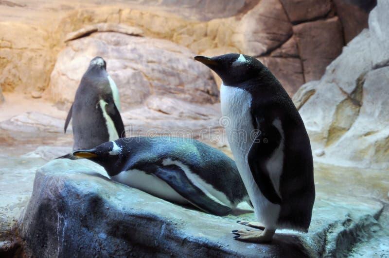 Feche acima de um pinguim de rei no jardim zoológico de Moscou fotografia de stock
