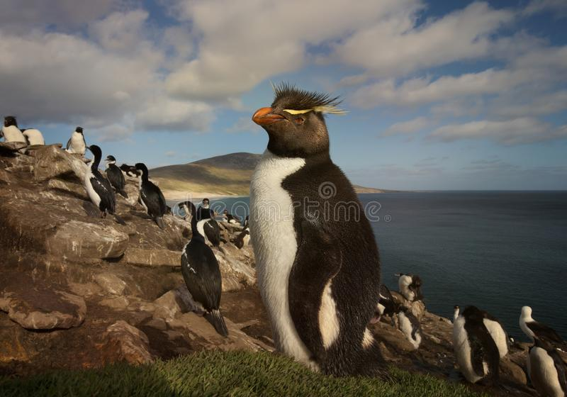 Feche acima de um pinguim de Rockhopper no viveiro fotografia de stock royalty free