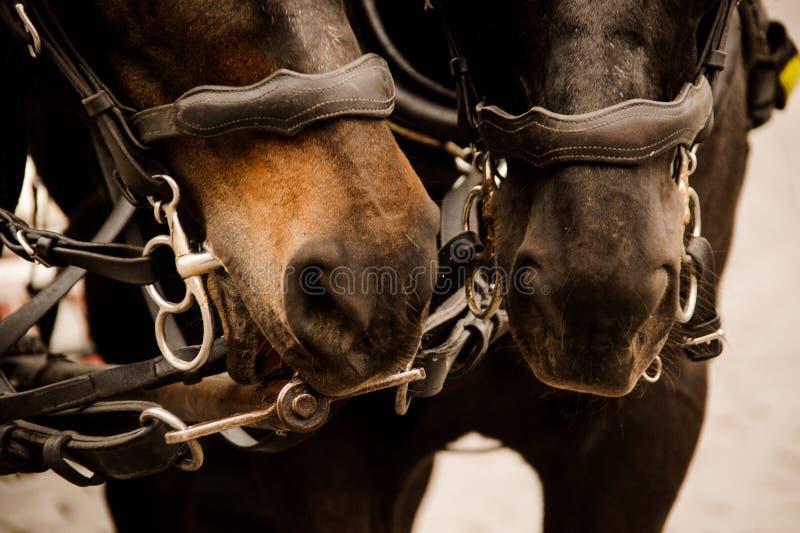 Feche acima de um retrato de dois cavalos bonitos do marrom do puro-sangue imagens de stock royalty free