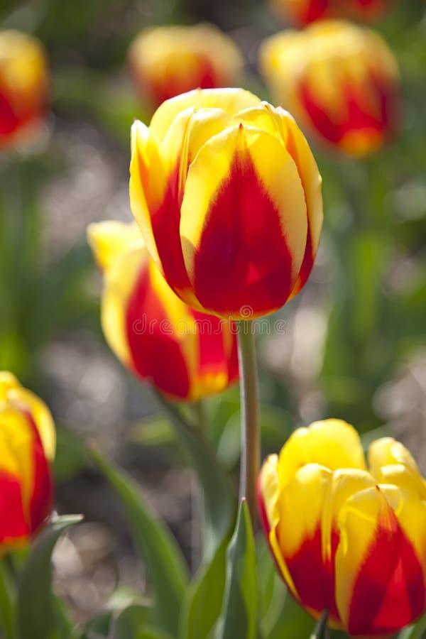 Feche acima de um Tulip holandês fotos de stock royalty free