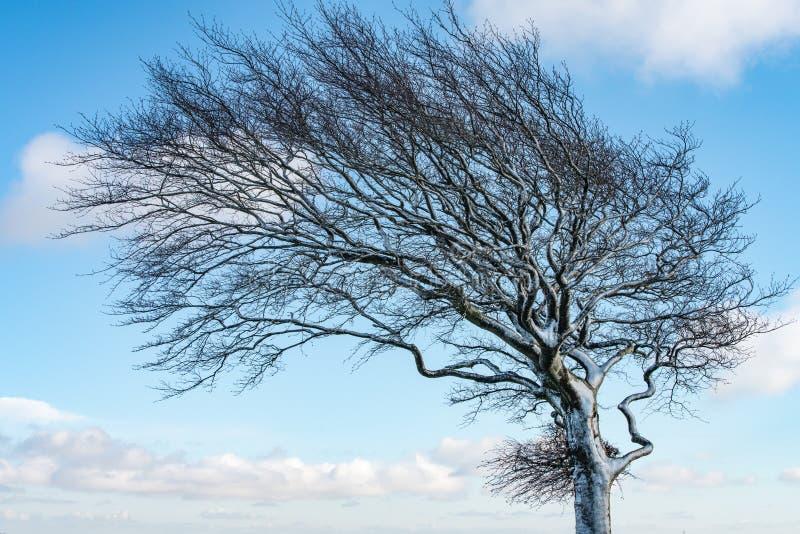 Feche acima de uma árvore coberto de neve fundida do vento contra um céu azul foto de stock royalty free