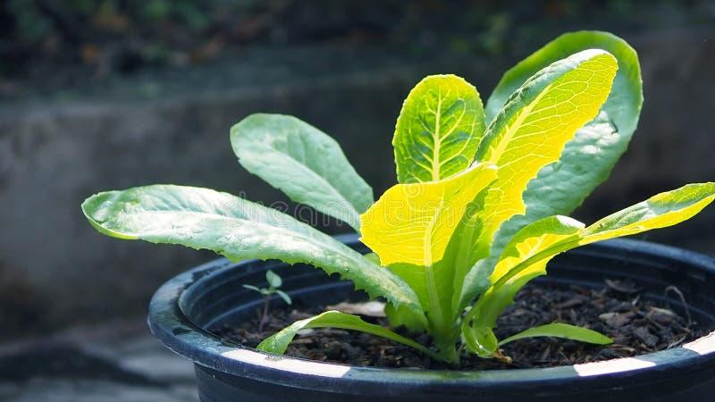 Feche acima de uma árvore verde orgânica de cos no jardim vegetal orgânico da casa fotografia de stock