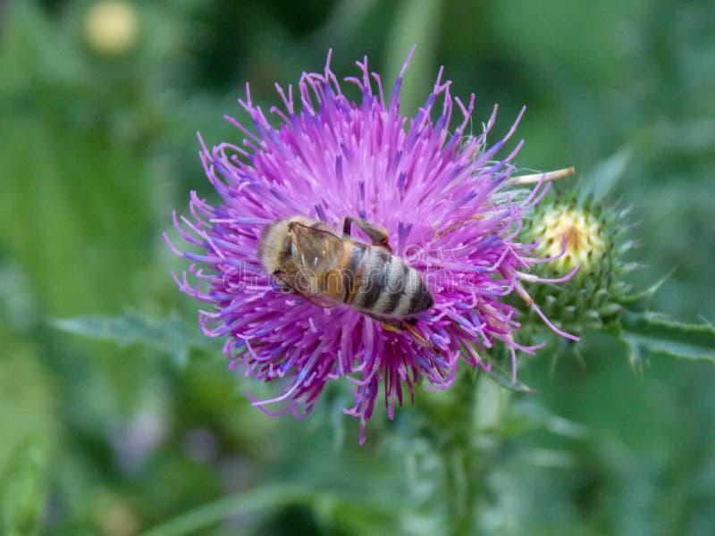 Feche acima de uma abelha em um cardo roxo imagens de stock