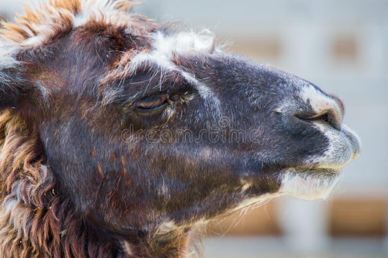 Feche acima de uma alpaca fotografia de stock royalty free