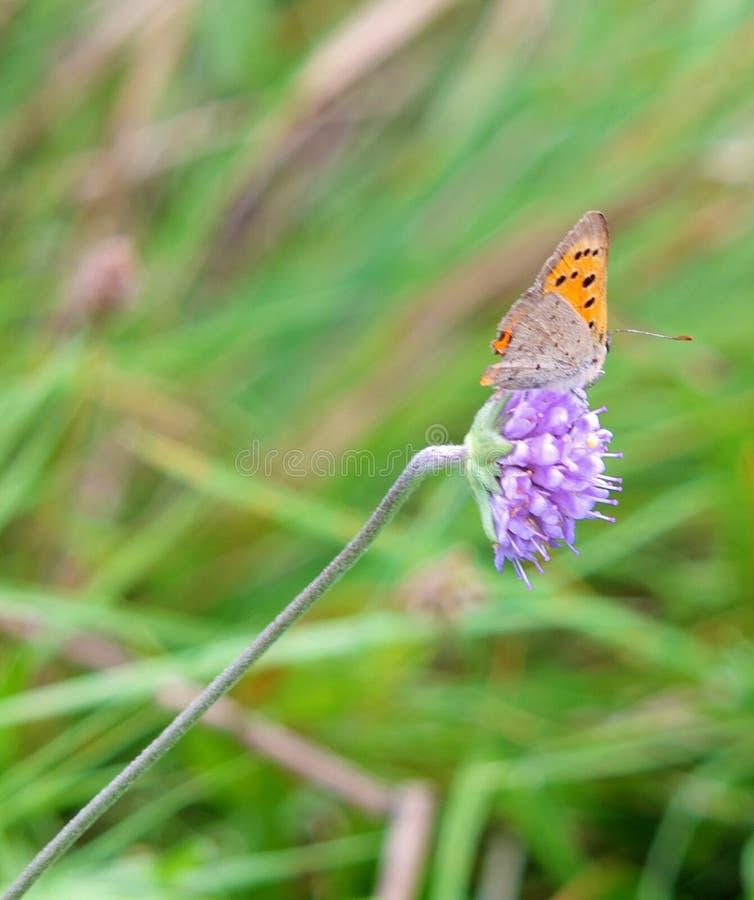 Feche acima de uma borboleta de cobre pequena que descansa em uma flor roxa pequena contra um fundo borrado do verde do prado fotografia de stock royalty free