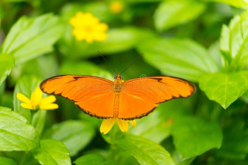 Feche acima de uma borboleta de Julia ou uma Julia alaranjada heliconian ou a chama, ou iulia do Dryas da tocha foto de stock