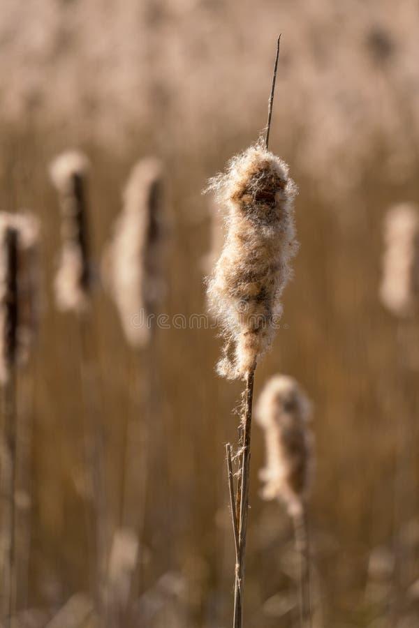 Feche acima de uma cabeça da semente do junco imagens de stock