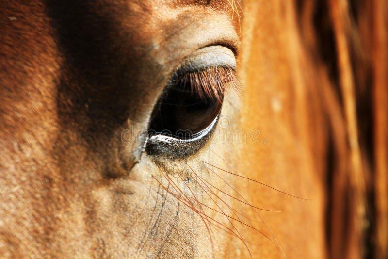 Feche acima de uma cabeça de cavalo com detalhe no olho foto de stock royalty free
