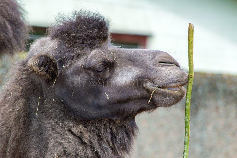 Feche acima de uma cabeça do camelo que guarda uma vara fotografia de stock royalty free