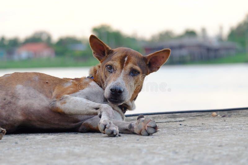 Feche acima de uma cara do cão tailandês de dois tons que coloca no rés do chão sujo do cimento imagens de stock