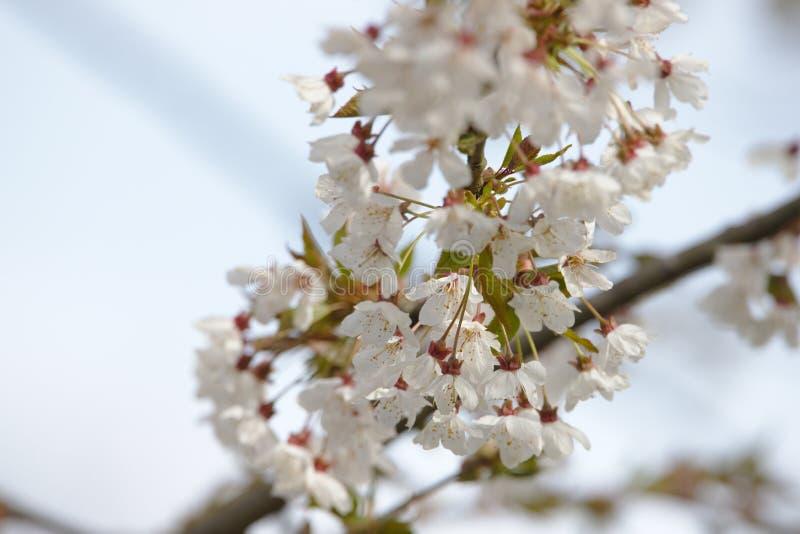 Feche acima de uma cereja selvagem fotos de stock royalty free