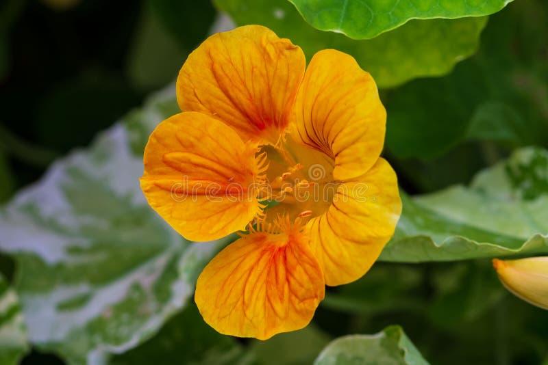 Feche acima de uma flor amarela da chagas imagem de stock royalty free
