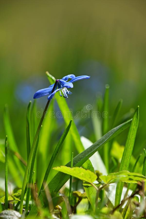 Feche acima de uma flor azul do snowdrop de Scilla da mola fotos de stock