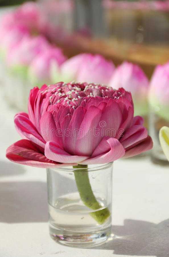 Feche acima de uma flor cor-de-rosa decorada do lírio de água foto de stock