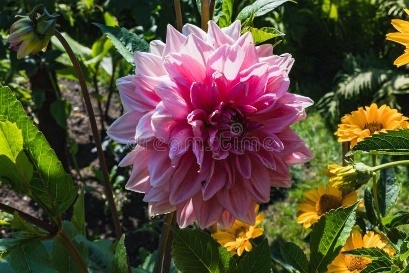Feche acima de uma flor cor-de-rosa bonita da dália em um jardim foto de stock royalty free