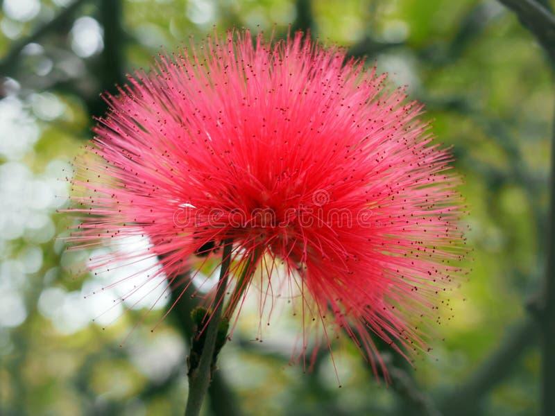 Feche acima de uma flor cor-de-rosa brilhante do pudica da mimosa imagens de stock royalty free