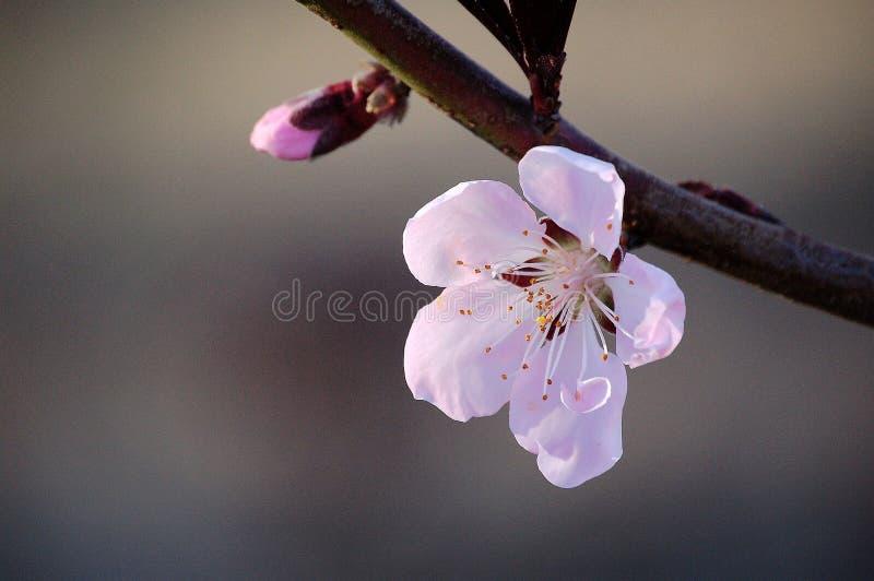 Feche acima de uma flor cor-de-rosa do pêssego e de um botão imagem de stock royalty free