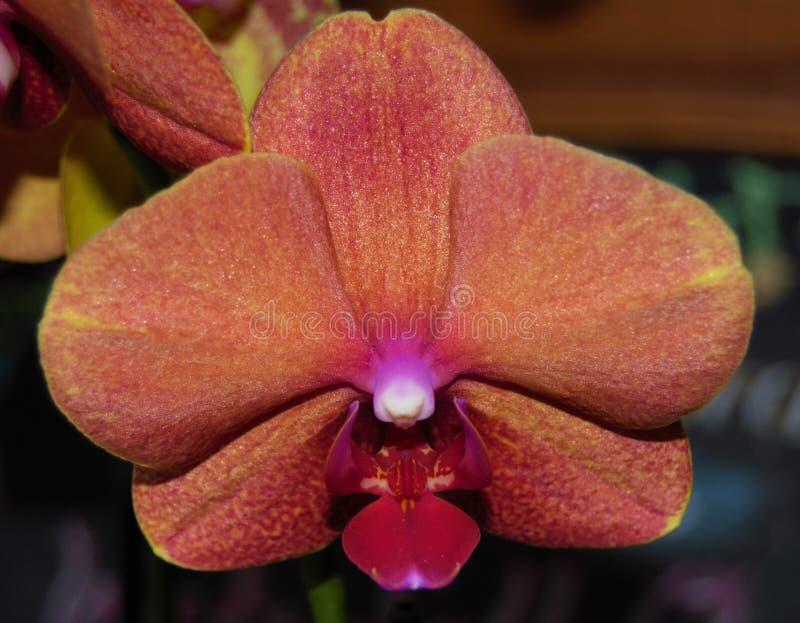 Feche acima de uma flor da orquídea com cores múltiplas fotos de stock royalty free