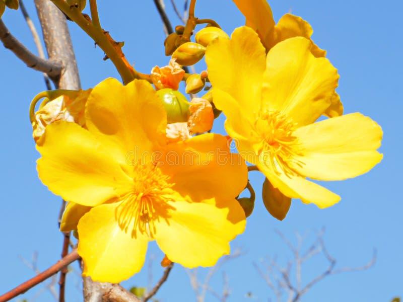 Feche acima de uma flor da sumaúma no parque nacional do rio de mary imagem de stock