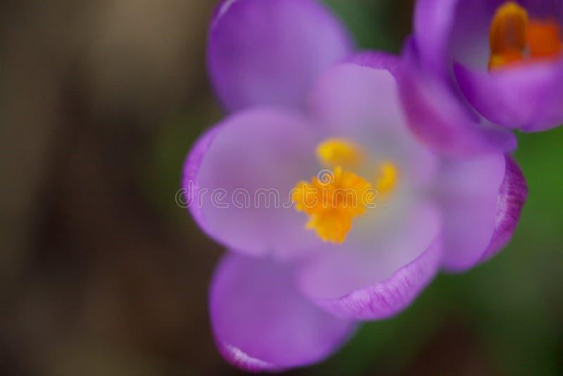 Feche acima de uma flor do açafrão foto de stock