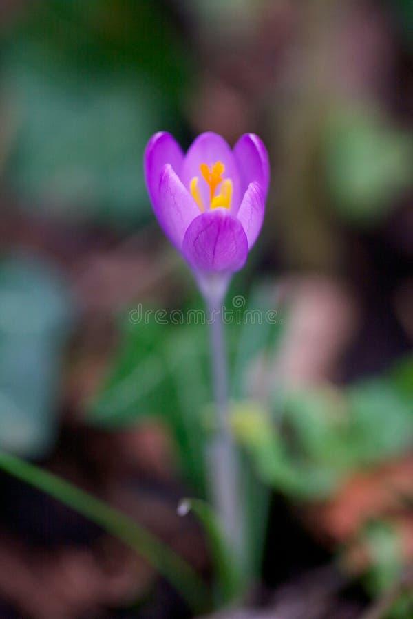 Feche acima de uma flor do açafrão imagem de stock royalty free