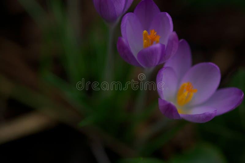 Feche acima de uma flor do açafrão foto de stock royalty free