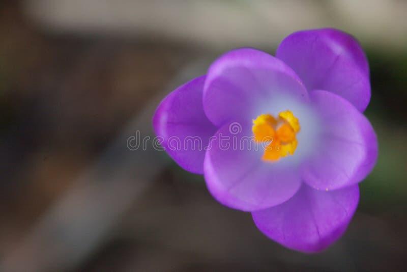 Feche acima de uma flor do açafrão fotografia de stock royalty free