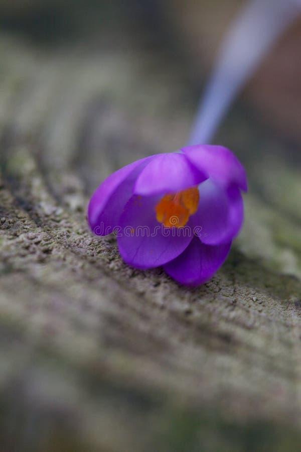 Feche acima de uma flor do açafrão fotos de stock