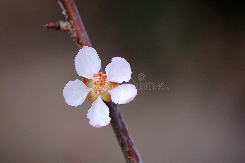Feche acima de uma flor do pêssego selvagem imagem de stock