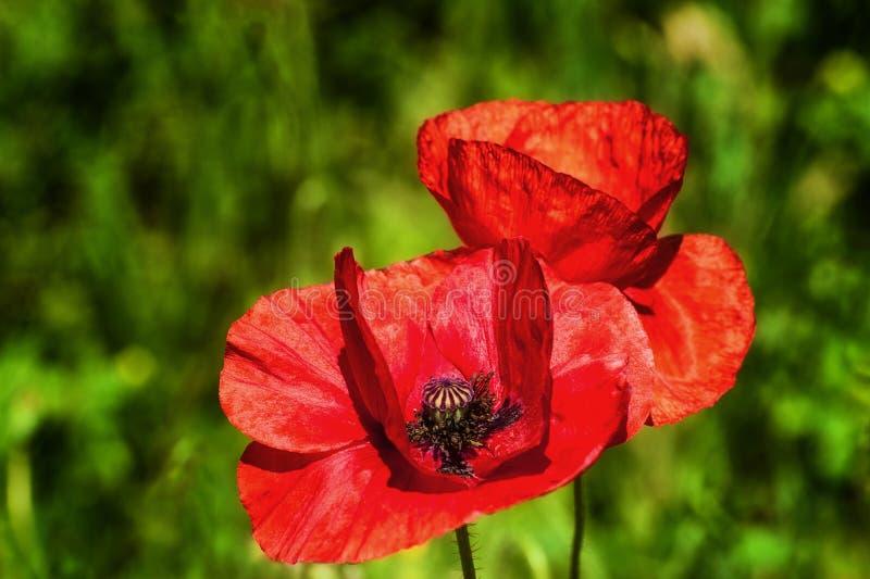 Feche acima de uma flor vermelha da papoila foto de stock royalty free