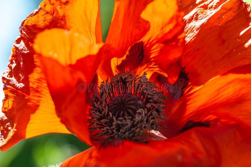 Feche acima de uma flor vermelha vívida vermelha gigante da papoila de veludo fotografia de stock royalty free