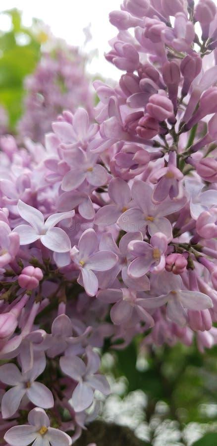 Feche acima de uma florescência roxa do lilás imagens de stock royalty free