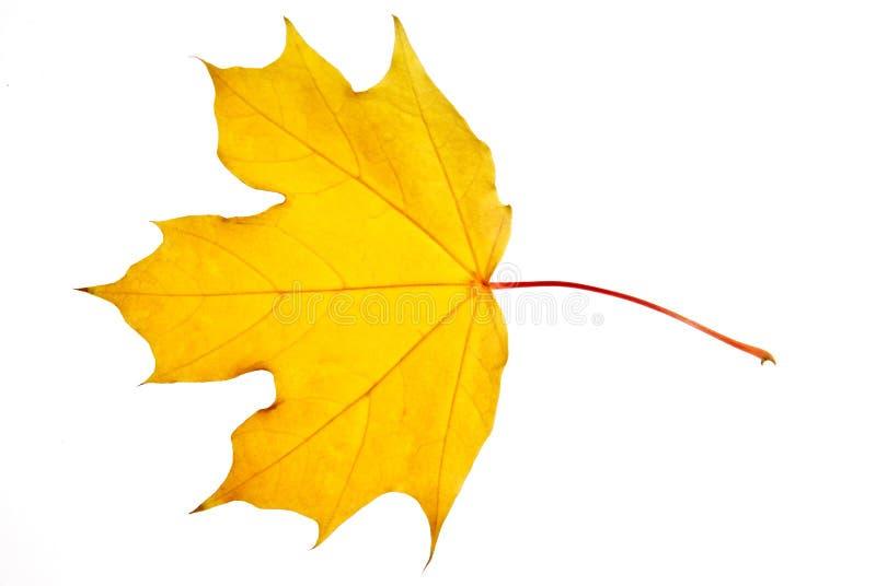 Feche acima de uma folha de bordo isolada no fundo branco foto de stock