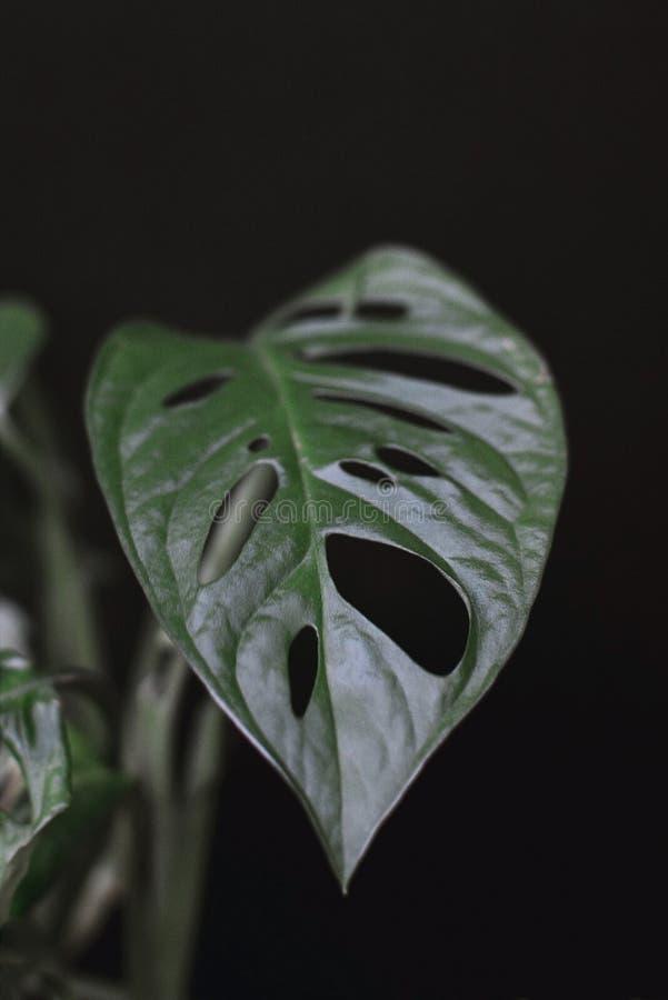 Feche acima de uma folha da planta de videira do obliqua tropical do monstera ou do queijo suíço na frente do fundo preto foto de stock