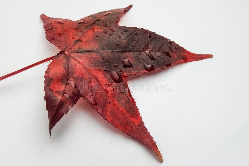 Feche acima de uma folha outonal vermelha do palmatum do acer em um fundo branco foto de stock