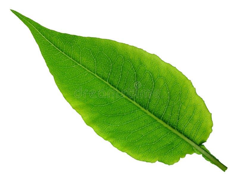 Feche acima de uma folha verde que mostra a estrutura e as veias fotos de stock